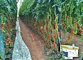 Greenhouse Israel IMG 3118.JPG