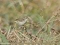 Greenish Warbler (Phylloscopus trochiloides) (45275115921).jpg