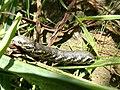 Grenchen - Sphingidae caterpillar.jpg
