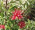 Grevillea obtusifolia Gingin Gem.jpg