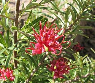 <i>Grevillea obtusifolia</i> species of plant
