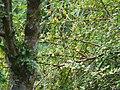 Grey-hooded Warbler - Phylloscopus xanthoschistos - P1040518.jpg