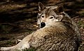 Grey-wolf-wildlife 17 - West Virginia - ForestWander.jpg