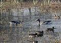 Greylag Geese Anser anser by Dr. Raju Kasambe DSCN1161 (9).jpg