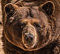Grizzly Bear Stare (44068439110).jpg