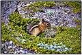 Ground Squirrel Having Breakfast Mt Rainier (93280631).jpeg