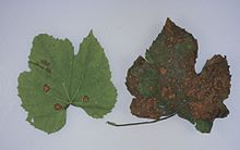 Guignardia bidwellii (black rot) on grape 5.jpg