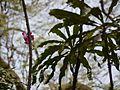 Gustavia superba (4631006389).jpg