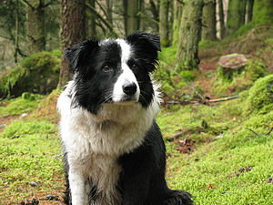 A Border Collie in Wales.