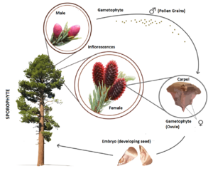 Gymnosperm - Example of gymnosperm lifecycle