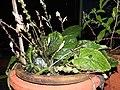 Gymnostachyum febrifugum-3-JNTBGRI-kerala-India.jpg