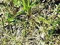 Gypsophila muralis sl63.jpg