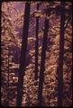 HEMLOCK TREES IN OLYMPIC NATIONAL TIMBERLAND, WASHINGTON NEAR OLYMPIC NATIONAL PARK - NARA - 555118.tif