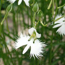 Pecteilis radiata wikipedia white egret flower mightylinksfo