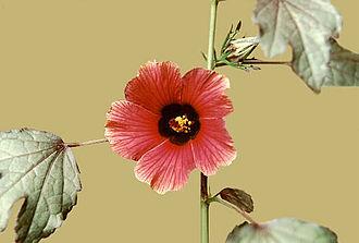 Hibiscus acetosella - Image: Haceto