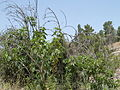 Hadassah Trail P1150503.JPG