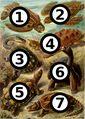 Haeckel Chelonia big spots.jpg