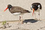 Haematopus palliatus -Atlantic coast, Cape May, New Jersey, USA-8.jpg