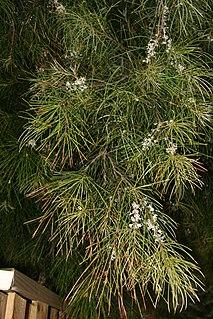 <i>Hakea macraeana</i> Species of shrub in the family Proteaceae native to eastern Australia
