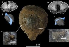 Illustrazione di una calotta cranica di hanssuesia , mostrante lesioni