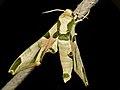Harlequin Hawkmoth (Batocnema africana) (13626318483).jpg