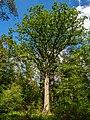 Hauptsmoorwald Kunigundeneiche 5300918.jpg