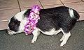 Hawaiian piglet (5224187290).jpg