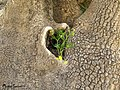 Heart-shaped yellow flower pot in the trunk. گلدانی به شکل قلب در تنه درخت - panoramio.jpg