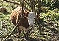 Heifer in the woods at Nanquidno - geograph.org.uk - 1080596.jpg