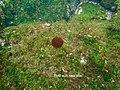 Heliaster cumingi 16 May Fernandina Snorkel (47927465516).jpg