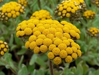 Gnaphalieae - Helichrysum basalticum