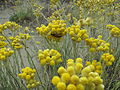 Helichrysum italicum (Roth) G. Don 0904 01.JPG