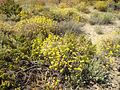 Helichrysum stoechas 6 (Espagne).JPG