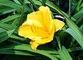 Hemerocallis Orange Gumdrops 3zz.jpg