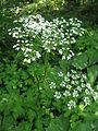 Heracleum sphondylium var. nipponicum 1.JPG