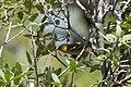 Hermit Warbler (female or immature male) Greenhouse Trail Portal AZ 2018-09-03 12-28-18 (48036396126).jpg