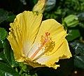 Hibiscus rosa-sinensis 'Bonaire Wind' Flower.JPG