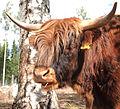 Highland cattle head.jpg