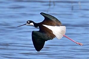 Black-necked stilt - Flying in California, USA