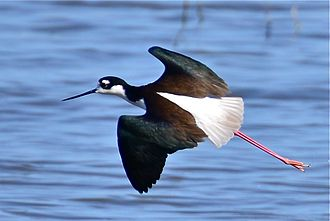 Black-necked stilt - Flying in California, USA