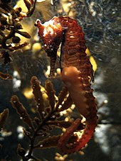 is a seahorse a crustacean