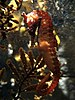West Australian Seahorse - Photo (c) Denise Chan (denn) from Hong Kong, China, some rights reserved (CC BY-SA)