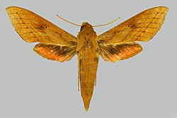 Hippotion talboti BMNHE274559 female up.jpg
