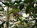 Hiptage benghalensis (7087804185).jpg