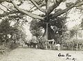 Historic Ceiba Tree, Ponce.jpg