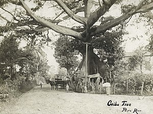 Parque de la Ceiba - Photograph of the ceiba tree taken in 1900.