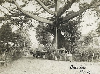 Parque de la Ceiba - Photograph of the ceiba tree taken in 1900.