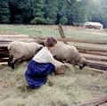 Historic interpretor feeds sheep at Mount Vernon, Virginia, George Washington's former estate LCCN2011634303.tif