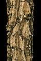 Holarrhena pubescens 1DS-II 2-6008.jpg