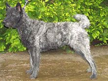 Dutch Shepherd Dog - Wikipedia